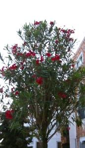 Pomegranate tree, Giudecca, Venice, Italy